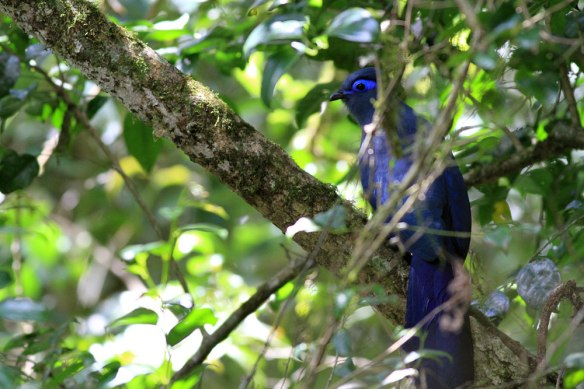 Blue-Coua