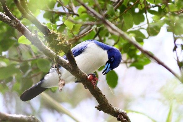 Blue-Vanga-(3)