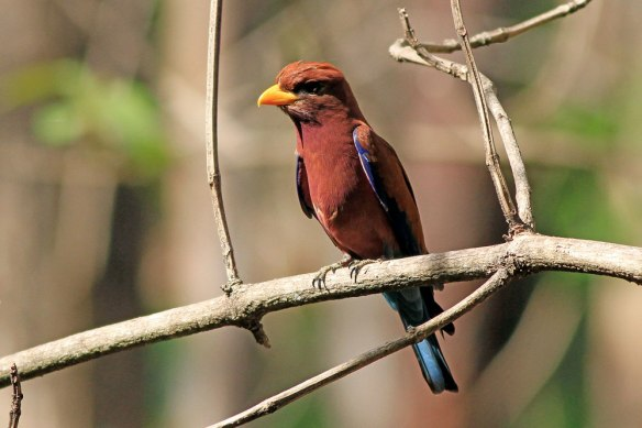 Broad-billed-Roller
