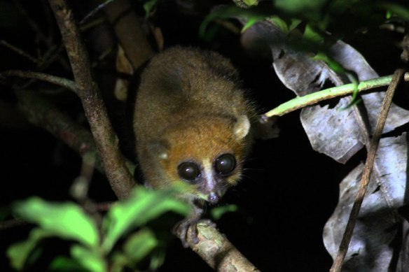 Brown-Mouse-Lemur-(3)