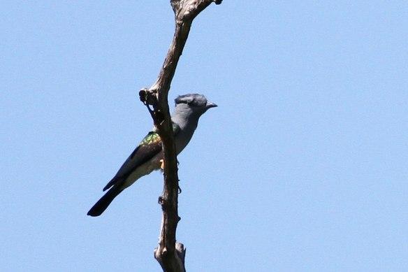 Cuckoo-Roller