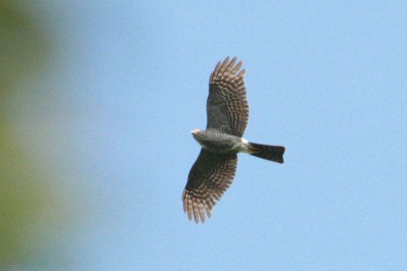 Frances's-Sparrowhawk-(2)