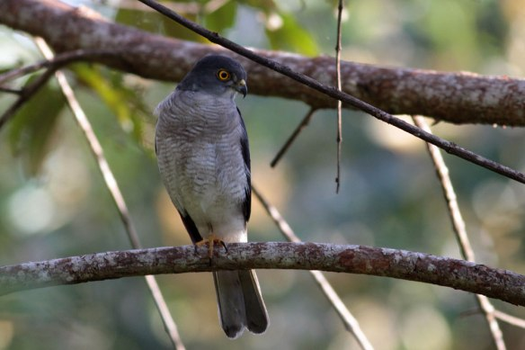 Frances's-Sparrowhawk-(3)
