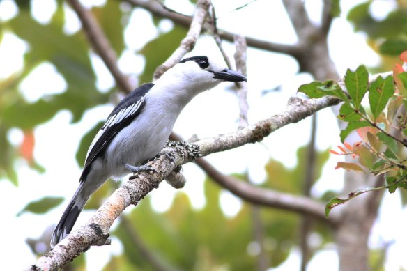 Hook-billed-Vanga