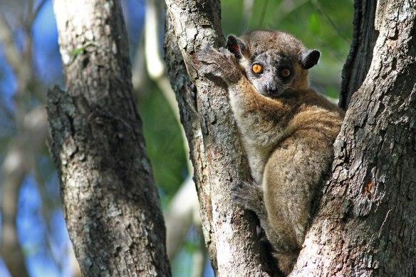 Hubbard's-Sportive-Lemur-(3
