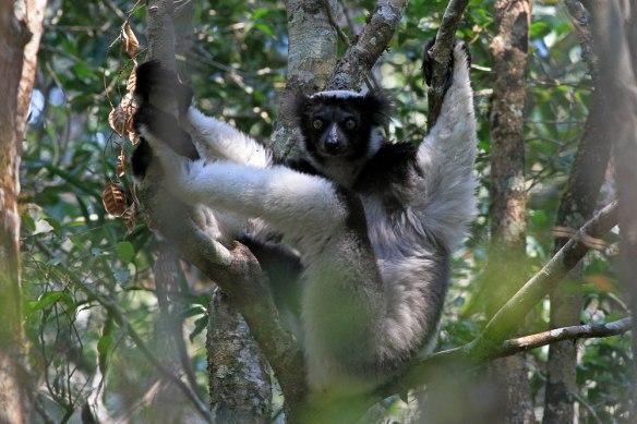 Indri-(38)