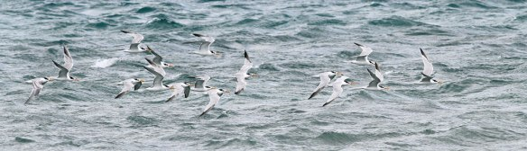 Lesser-Crested-Terns