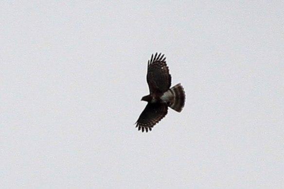 Madagascar-Cuckoo-Hawk-1