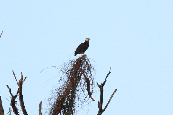 Madagascar-Fish-Eagle