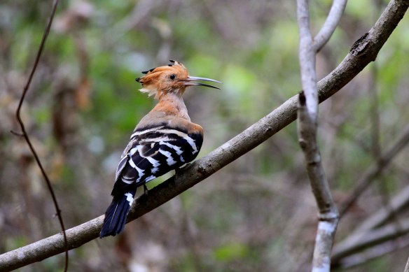 Madagascar-Hoopoe