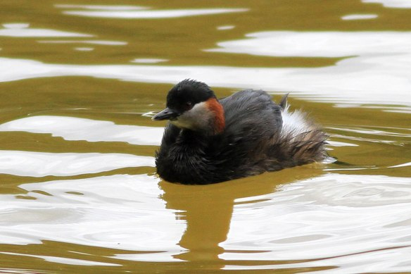 Madagascar-Little-Grebe