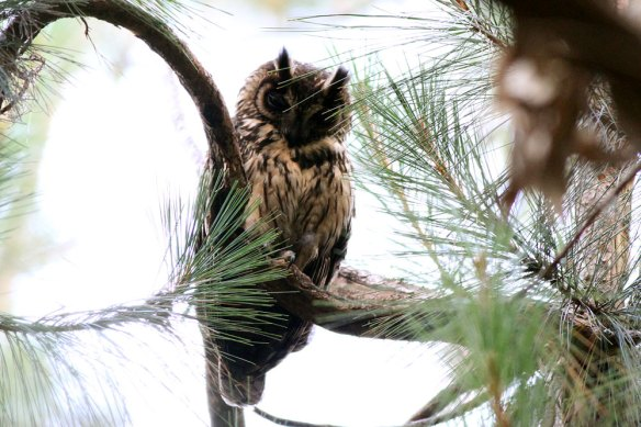 Madagascar-Long-eared-Owl-(