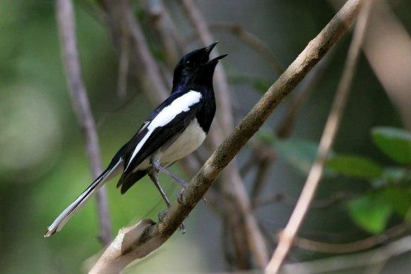 Madagascar-Magpie-Robin-2