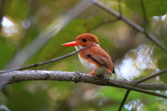 Madagascar-Pygmy-Kingfisher