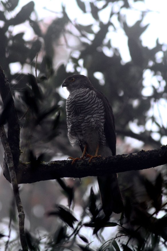Madagascar-Sparrowhawk-(2)