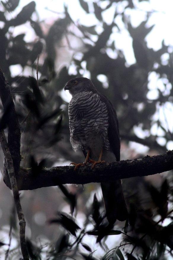 Fauna impressionante de Madagascar. Madagascar-sparrowhawk-2