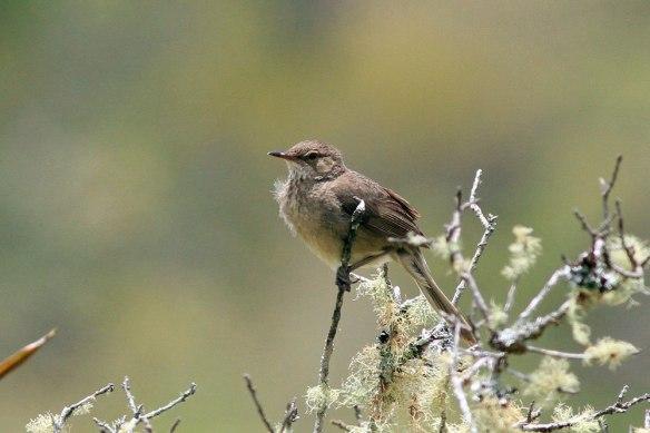 Madagascar-Swamp-Warbler