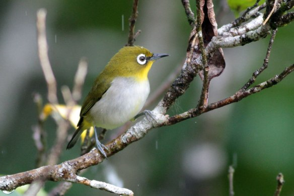 Madagascar-White-eye