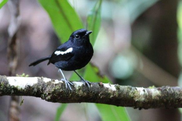 Magpie-Robin-Masoala
