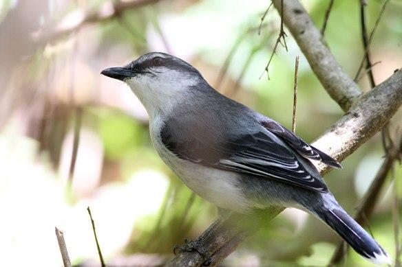 Mauritius-Cuckooshrike-1