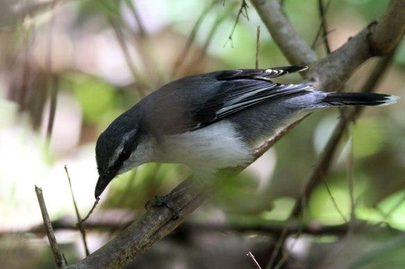 Mauritius-Cuckooshrike