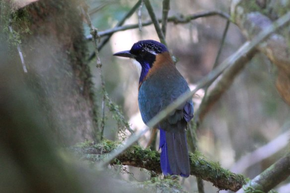Pitta-like-Ground-Roller-(1
