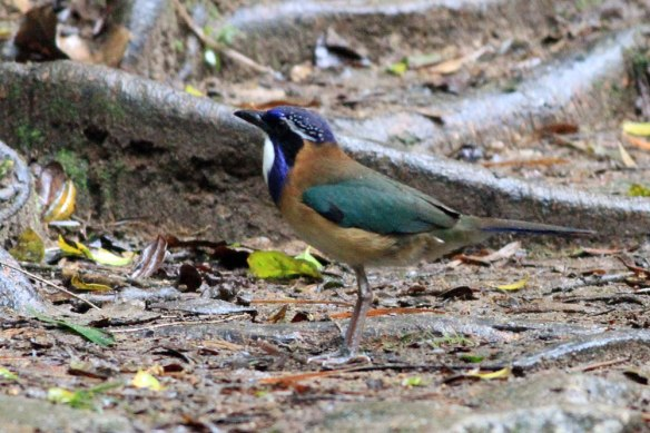 Pitta-like-Ground-Roller-(4