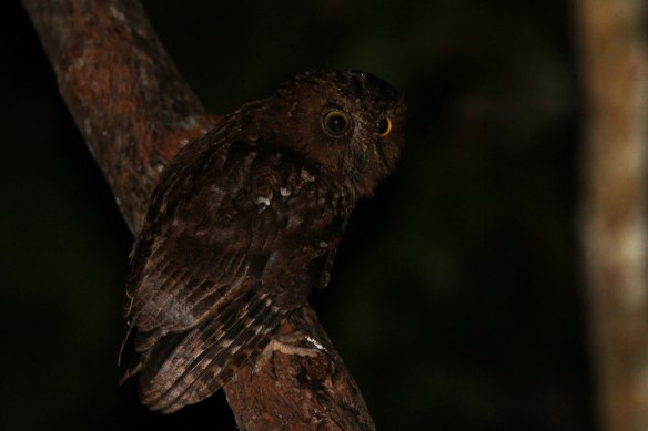 Rainforest-Scops-Owl-(1)