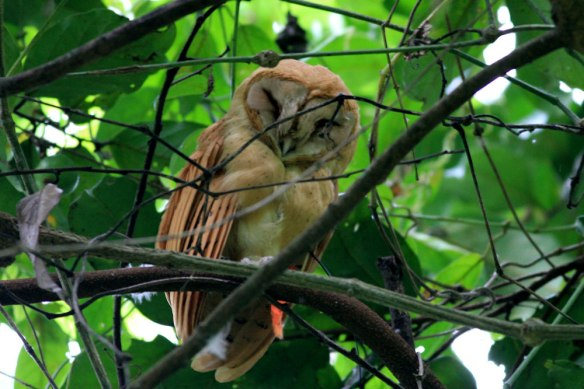 Red-Owl
