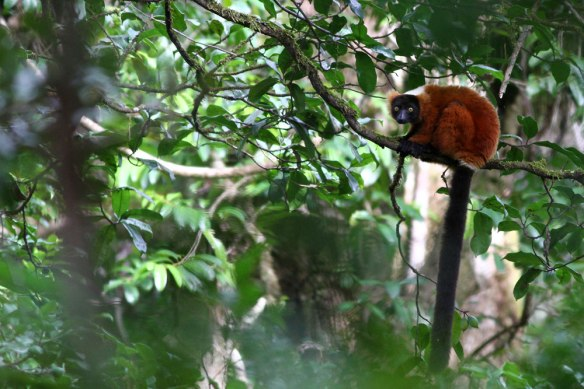 Red-ruffed-Lemur-(1)
