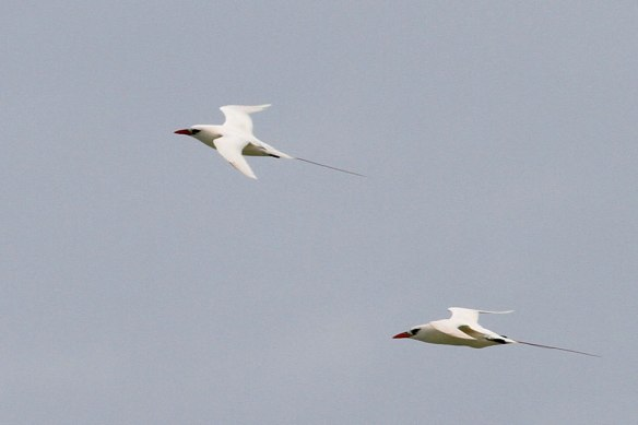 Red-tailed-Tropicbird-(1)