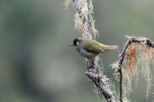 Reunion-Olive-White-eye