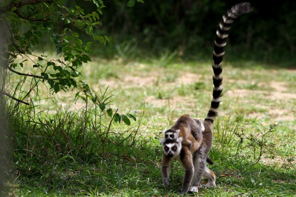 Ring-tailed-Lemur-(7)