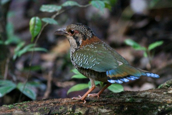 Scaly-Ground-Roller-(4)