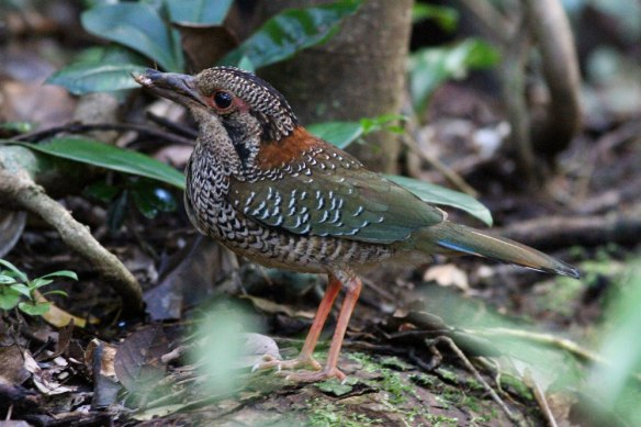 Scaly-Ground-Roller-(5)