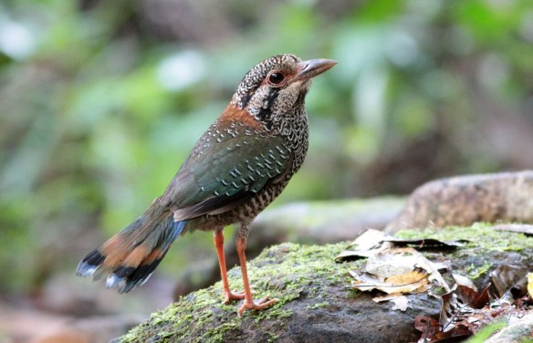 Scaly-Ground-Roller-(6)
