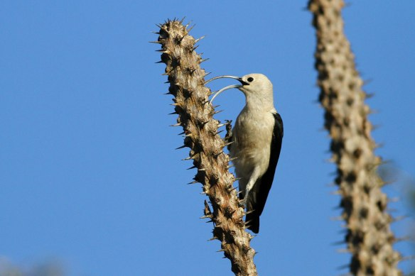 Sickle-billed-Vanga