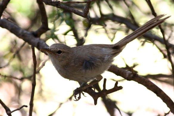 Subdesert-Brush-Warbler