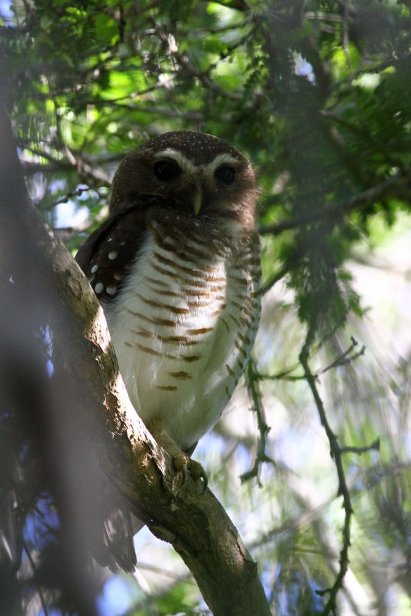White-browed-Owl
