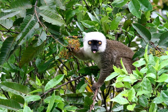 White-fronted-Br-Lemur-(3)