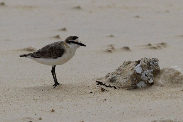 White-fronted-Plover-(1)