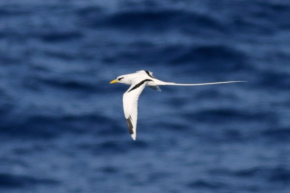 White-tailed-Tropicbird-1