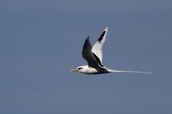 White-tailed-Tropicbird-4