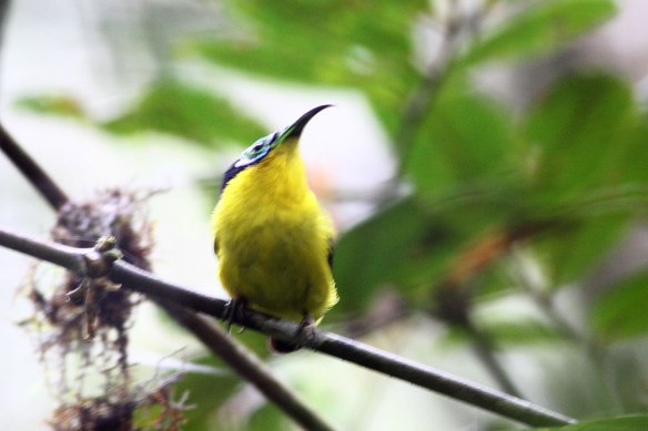 Yellow-bellied-Sunbird-Asit