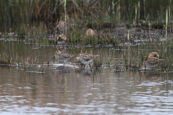 Common-Snipe-(grey-looking-