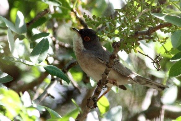 Menetries-Warbler
