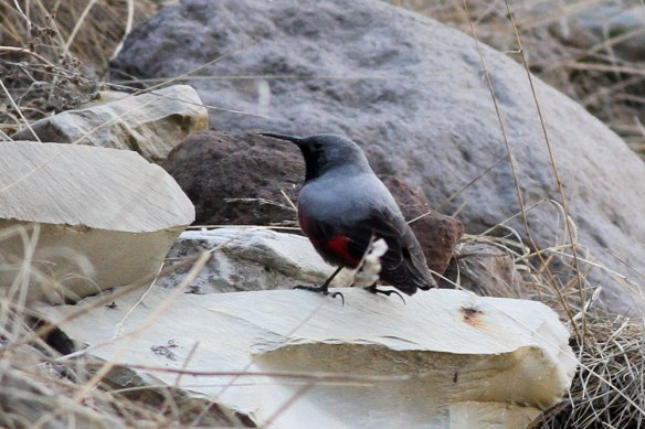 Wallcreeper-3