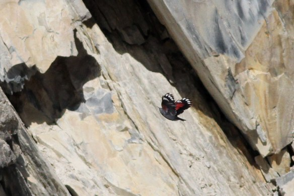 Wallcreeper-4