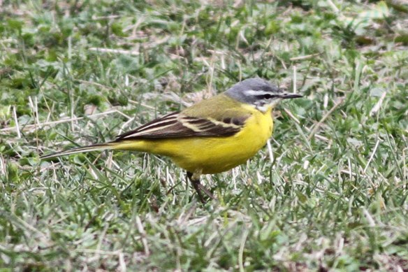 Yellow-Wagtail-beema-or-fla