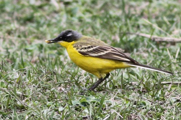 Yellow-Wagtail-thunbergi-3